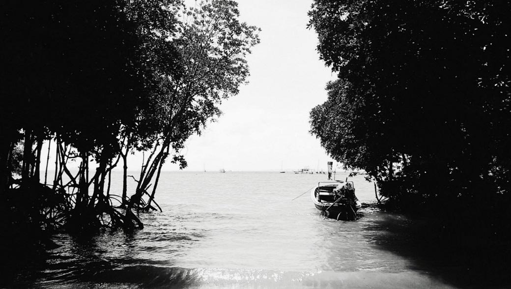 Mangrove Trees Thailand